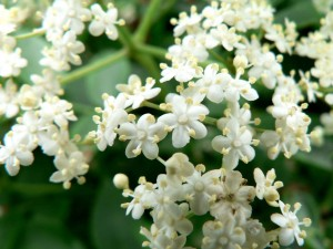 Recipe: Elderflower syrup – Celebrate Swedish Midsommar
